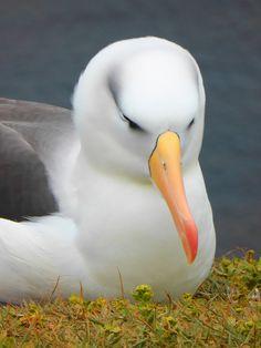 Picture of an albatross bird.