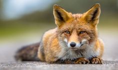 Urban fox numbers are FIVE times higher than first thought