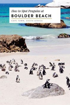 african penguins at boulder beach in cape town south africa, africa travel guide, capetown, beach guide, Places To Travel, Places To See, Boulder Beach, Cape Town South Africa, Future Travel, Africa Travel, Travel Goals, Vacation Spots, Travel Around