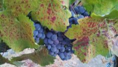 Ghilmetti Vineyard