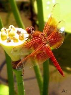 Red dragonfly 2 by ~ParadiseTears on deviantART