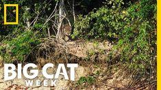 Jaguar vs. Caiman
