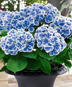 Bicolor Blooms - 29 Ways to Grow Hydrangeas in Containers - Southernliving. Plant this duo-chrome blooming shrub, Hydrangea macrophylla 'Bavaria,' for a summery, sun-loving, and eye-catching container. See the Pin Hydrangea Seeds, Hydrangea Care, Hydrangea Flower, Flower Seeds, Flower Pots, Hydrangea Colors, White Hydrangeas, Blue Flowers, Hydrangea Macrophylla