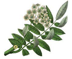 Botanical Mountain Ash Image! - The Graphics Fairy
