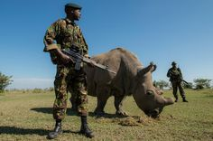 An anti-poaching team guards a Northern white rhino named Fatu at the Ol Pejeta Conservancy. Only 8 Northern white rhinos exist in the wild.
