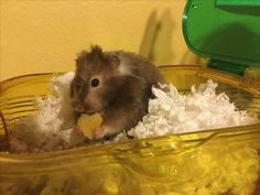 Yummy cheese! Hamster & Cheese.