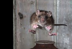 Roy Rimmer, of Wigan, Greater Manchester, won the Mammal Society Mammal Photographer of the Year competition by freezing the motion of a jumping brown rat. Wildlife photographer and competition judge. Animals And Pets, Funny Animals, Cute Animals, Strange Animals, Hamsters, Rodents, Rats Mignon, Photo Animaliere, Perfectly Timed Photos