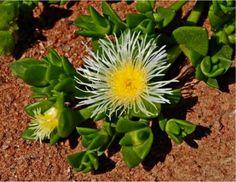 The Sceletium tortuosum plant (flower)