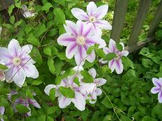 Clematis, gift from good friend, Marilyn