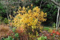 Autumn Full size picture of Summersweet, Sweet Pepper Bush (<i>Clethra alnifolia</i>)