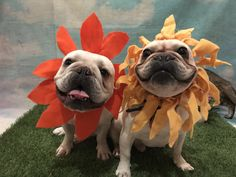 Julio and Roberto, the French Bulldog Flower Brothers