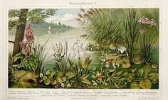 Stampe antiche 1897 di piante acquatiche ninfee. Waterlily.