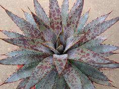 Manfreda × Agave macroacantha 'Puple spot' マンフレダ × アガベ マクロアカンサ パープルスポット