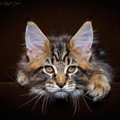 Maine Coon Kitten, Rock, 9 weeks, by Robert Sijka Photography