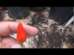 rosemary pepper taste test