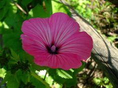 Second Silver - Lavatera trimestris, seeds Rose Mallow, Annual Zone: Prolific bloomer Spring Plants, Spring Garden, Seeds, Rose, Flowers, Silver, Pink, Bloomer, Roses
