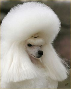 Show Poodle with Added Hair