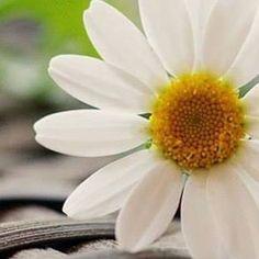 Daisies, Drawings, Plants, Summer, Flowers, Margaritas, Summer Time, Margarita Flower, Sketches