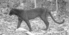 Leopards can change their spots. Research carried out at The University of Nottingham Malaysia Campus used specially modified camera traps to reveal the black leopard's spots. Credit: All images © Rimba Research Malaysia