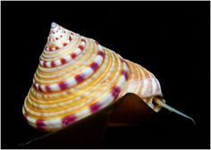 painted topshell - Google Search