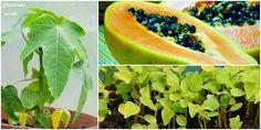 Cantinho verde - horta e jardim: Cultivo da planta do #mamão #papaia (#mamoeiro)