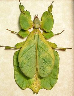 Bright green walking leaf insect