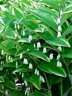 Polygonatum odoratum var. pluriflorum 'Variegatum' -- purchased from Wise Gardener 5/3/14