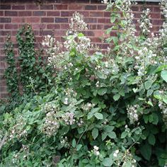 How to get rid of blackberry bushes.