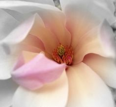 Meaning: Dignity, Splendid Beauty    Magnolia represents a genus consisted of more than 200 evergreen and deductions plants and trees from the family Magnoliaceae.