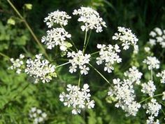 cow parsley or Queen Anne's Lace. So gorgeous along paths and trails in woodlands and country roads. Wedding Bouquets, Wedding Flowers, Spotty Dog, Cow Parsley, Flower Identification, Meadow Garden, Queen Annes Lace, Floral Invitation, Invitations