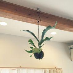 yukiさんの、吊り下げGreen,コウモリラン♡,観葉植物,ねこが好き,多頭飼い,Lounge,のお部屋写真