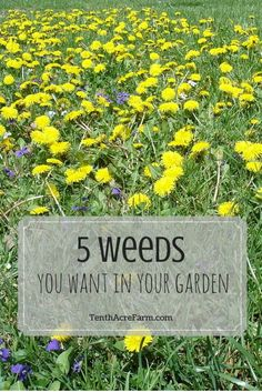 Increase the productivity of your garden by knowing how to harness the power of these top 5 weeds.