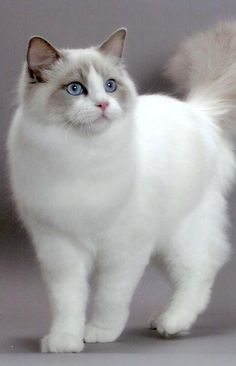 Top 10 Friendliest Cat Breeds: Ragdoll - My name gives me away. I am every bit as big, fluffy, and easy-going as a ragdoll. Built for affection, I'll even go limp when you pick me up – which I'll let you do even if you're a total stranger.