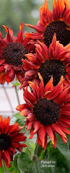 Sunflowers red.