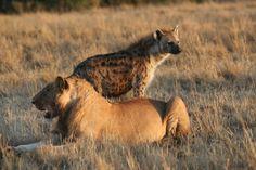 * Leão e Hiena *  (Panthera leo & Crocuta crocuta).