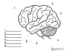 Brain coloring page School Brain anatomy, Brain y
