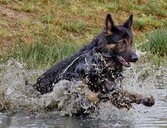 Do you love German Shepherd? I love so much#dogs #kitty #lovecats #kittens #animals #ねこ #animal #kitten #cat #pets #ilovemycat #love #catoftheday #happynewyear #adorable #catlover #pet #meow #猫 #cute #pinterest