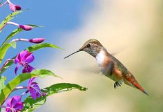 Rufous Hummingbird #3 - ID: 2330361 © Janine Russell