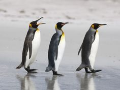 The King Penguin is the second largest species of penguin at about 11 to 16 kg, second only to the Emperor Penguin. There are two subspecies—A. p. patagonicus and A. p. halli; patagonicus is found in the South Atlantic and halli elsewhere.