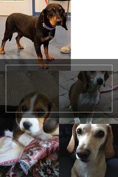 Adoptable Beagle, Dogs, Animals, Animales, Animaux, Pet Dogs, Doggies, Animal, Animais