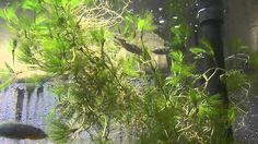 Endangered species Hariyo / Meihua algae-Samegai / Nakasendo 絶滅危惧種ハリヨ/梅花...