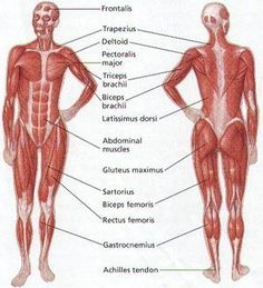 muscle identification worksheet. worksheets. reviewrevitol free, Muscles