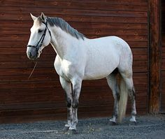 Lusitano stallion Braseiro do Vouga. photo: Keron Psillas.