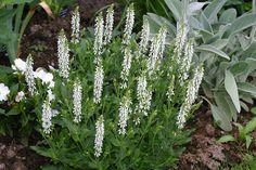 Salvia Schneehugel''