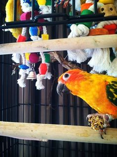 Schlomo the Sun Conure Submitted by Nicole Neusch Parakeets, Parrots, Conure, Bird Toys, Bird Feathers, Wings, Sunset, Pets, Sunsets