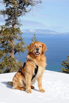 Avalanche Rescue Golden Retriever - Heavenly Valley - happy Golden...
