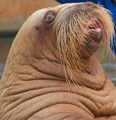 Walrus with a classy moustache. Beautiful Creatures, Animals Beautiful, Cute Animals, Wild Animals, Elephant Seal, Ocean Creatures, Animal Faces, Mustache, Animal Kingdom