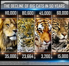 The Decline Of Big Cats in 50 Years (In The Whole World)
