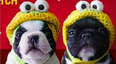 I love Boston Terriers.  Cut this from a cc ad.  So Cute!