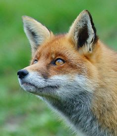 A fox named Pickles  #red_fox #Vulpes_vulpes #mytumblr